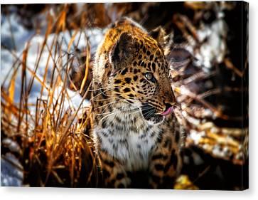 Amur Leopard Beauty Canvas Print by Karol Livote