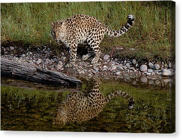 Amur Leopard Reflection Canvas Print