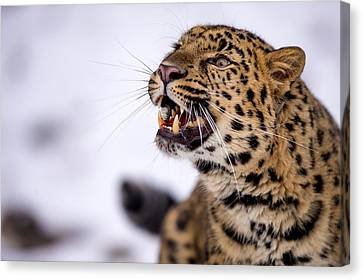 Amur Leopard With A Bloody Smile Canvas Print by Gavin Baker