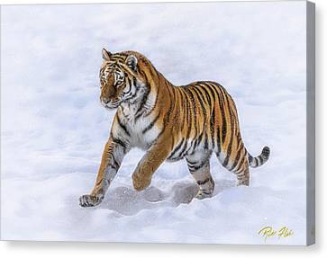 Canvas Print featuring the photograph Amur Tiger Running In Snow by Rikk Flohr