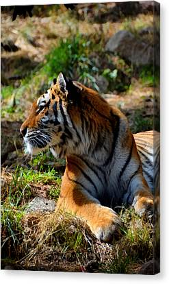 Canvas Print featuring the mixed media Amur Tiger 9 by Angelina Vick