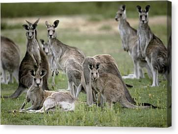 An Alert Mob Of Eastern Grey Kangaroos Canvas Print by Jason Edwards
