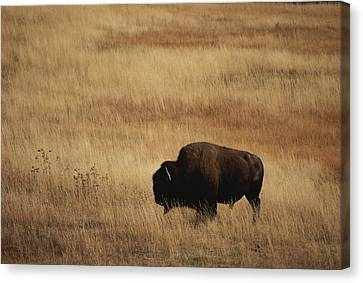 An American Bision In Golden Grassland Canvas Print by Michael Melford
