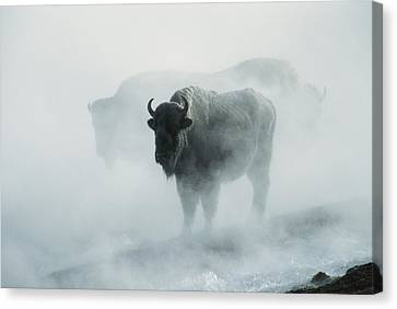 An American Bison Bull Bison Bison Canvas Print by Michael S. Quinton