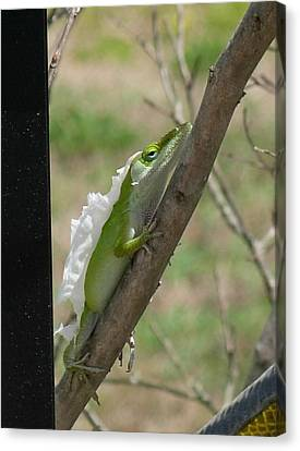 Canvas Print featuring the photograph An Anole Shedding Its Skin by Jeanne Kay Juhos