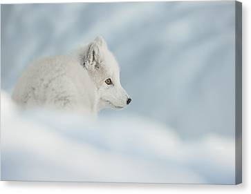 An Arctic Fox In Snow. Canvas Print by Andy Astbury