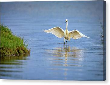 An Egret Spreads Its Wings Canvas Print