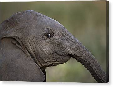 An Eight-month-old Elephant Calf Canvas Print by Michael Nichols