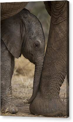 Touching Canvas Print - An Elephant Calf Finds Shelter Amid by Michael Nichols