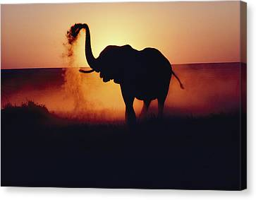 An Elephant Loxodonta Africana Tosses Canvas Print by Annie Griffiths