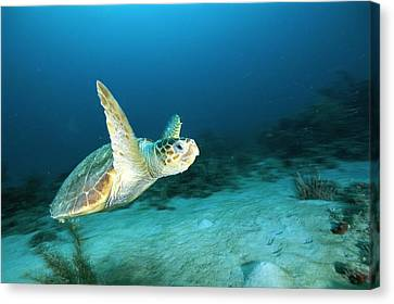 An Endangered Loggerhead Turtle Canvas Print by Brian J. Skerry
