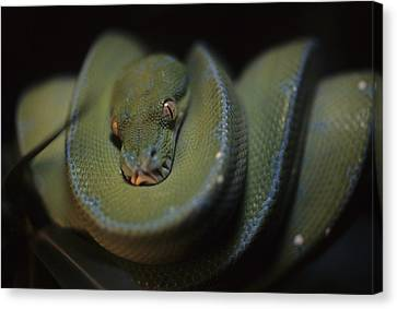Morphing Canvas Print - An Immature Green Tree Python Curled by Taylor S. Kennedy