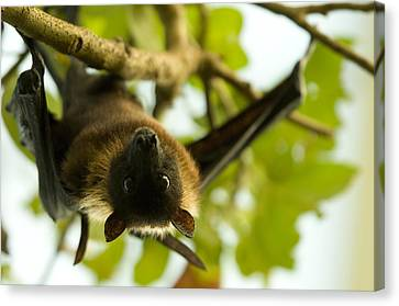 An Indian Flying Fox From The Sedgwick Canvas Print by Joel Sartore