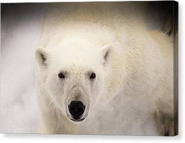 An Intimate Encounter With A Polar Bear Canvas Print by Robert Mcgillivray