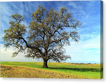 Canvas Print featuring the photograph An Oak In Spring by James Eddy