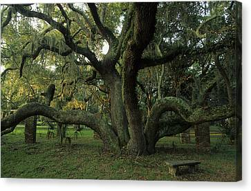 Bromeliad Canvas Print - An Old Live Oak Draped With Spanish by Michael Melford