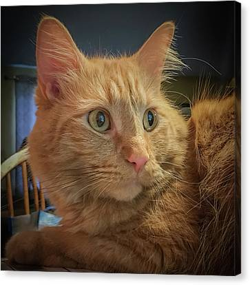 Canvas Print featuring the photograph An Orange Tabby Portrait by Guy Whiteley