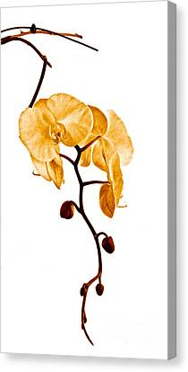 An Orchid's Perfume Canvas Print by Gwyn Newcombe