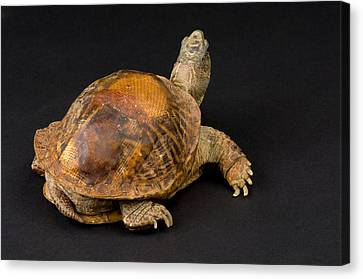 An Ornate Box Turtle With A Fiberglass Canvas Print by Joel Sartore