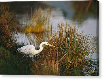 An Unusual White-tinged Great Blue Canvas Print by Raymond Gehman
