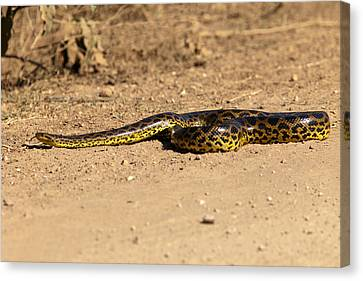Anaconda Crossing Transpantaneira Canvas Print