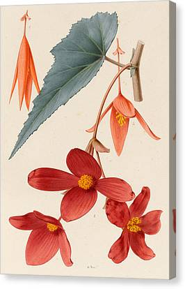 Analytical Drawing Of A Begonia Canvas Print by Alfred Riocreux