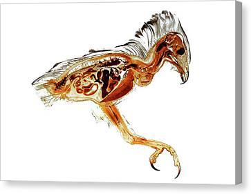 Anatomical Plastination Specimen Of A Honey Buzzard Canvas Print