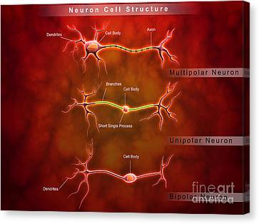 Anatomy Structure Of Neurons Canvas Print by Stocktrek Images