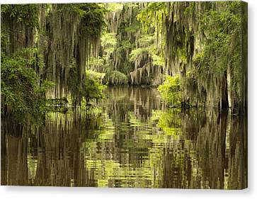 Ancient Cypress Canvas Print