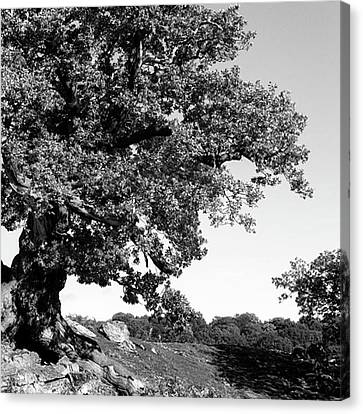 Ancient Oak, Bradgate Park Canvas Print by John Edwards