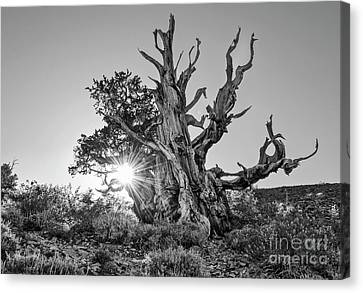 Ancient One Canvas Print by Jamie Pham