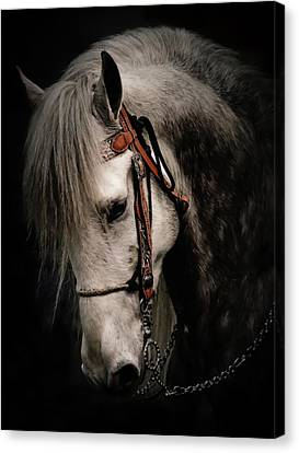 Andalusian Horse Canvas Print by Athena Mckinzie