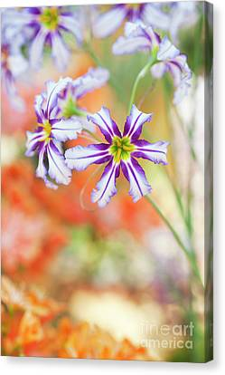 Andean Glory Of The Sun Lily Flowers Canvas Print