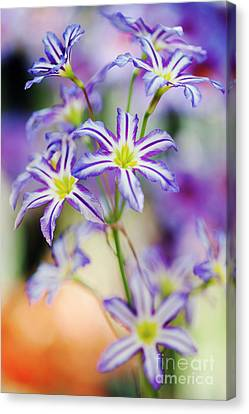 Andean Glory Of The Sun Lily Canvas Print