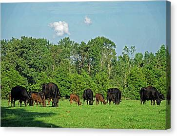 Andrews Tavern Cattle Canvas Print by Dawn Whitmore