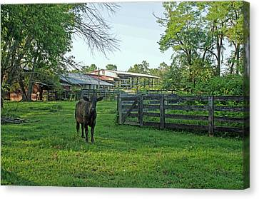 Andrews Tavern Lone Cow Canvas Print by Dawn Whitmore