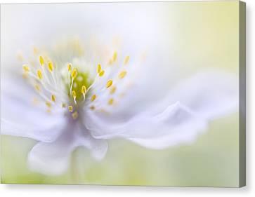 Anemone Beauty Canvas Print