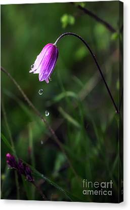 Anemone 's Tears.. Canvas Print