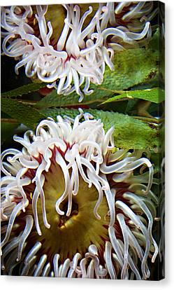 Sea Anenome Canvas Print - Anenome Reflection by Marilyn Hunt