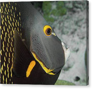 Angel Fish Profile Canvas Print by Jean Noren