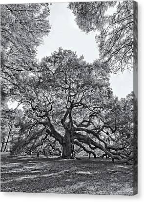 Angel Oak Canvas Print by Dave Stegmeir
