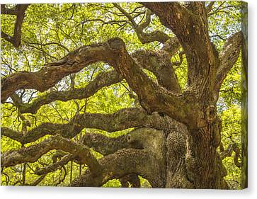 Angel Oak I Canvas Print by Steven Ainsworth