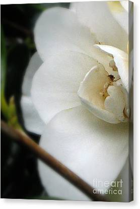 Angelic Camellia Canvas Print by Mg Blackstock