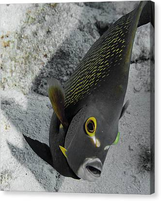Angled Angel Fish Canvas Print by Jean Noren
