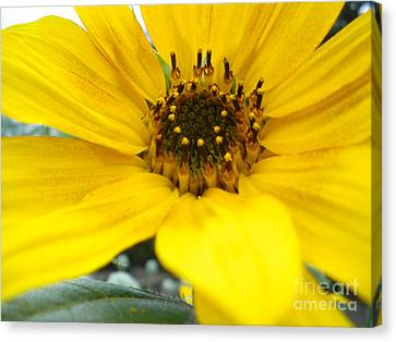 Angled Sunflower Canvas Print by Sonya Chalmers