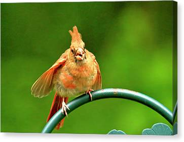 Angry Bird Canvas Print by Geraldine Scull