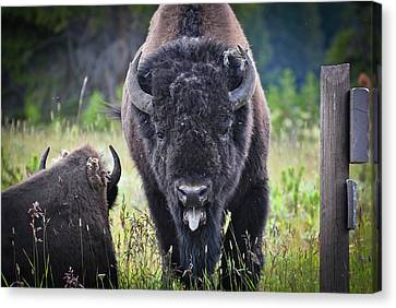 Angry Bison Canvas Print by Greg Norrell