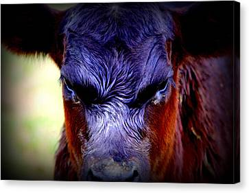 Angry Black Angus Calf Canvas Print by Tam Graff