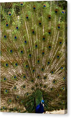 Angry Peacock Canvas Print by Sonja Anderson