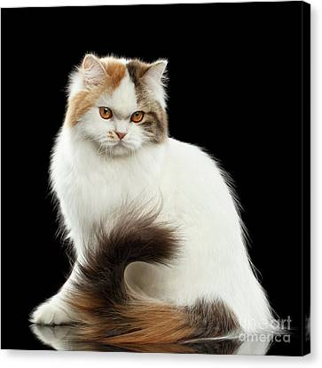 Angry Scottish Highland Straight Cat Waving Tail, Isolated Black Canvas Print by Sergey Taran